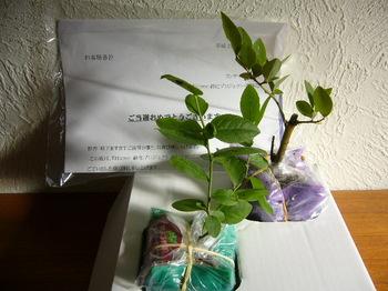 20101022 リンナイ ブルーベリー苗2本.JPG